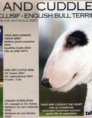 bull-terrier-meilleur-elevage-champion