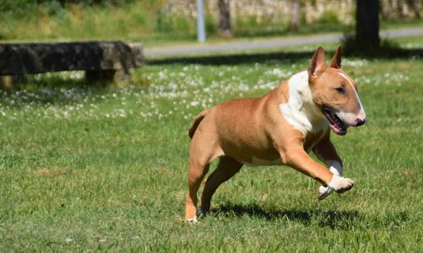 champion-top-elevage-chiot-a-vendre