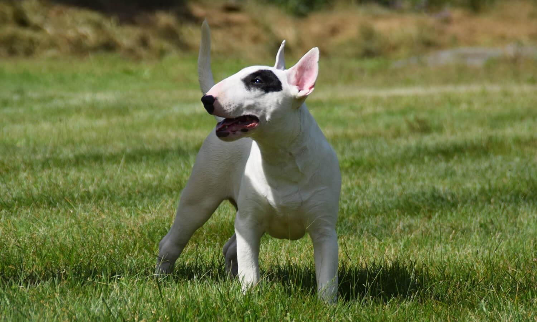 bull-terrier-champion-eleveur-france