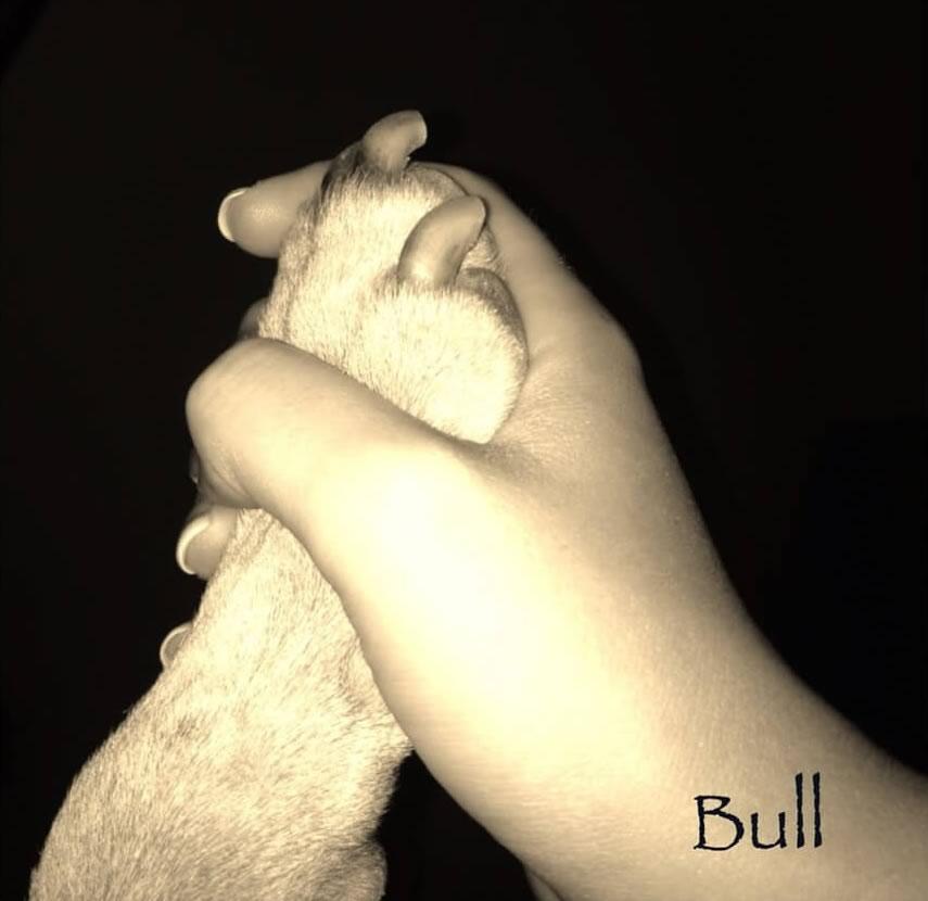 achat bullterrier-élevage sud-ouest-agility-qualité chiot