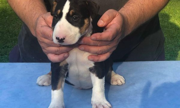 chiot-bull-terrier-1-elevage-eleveur