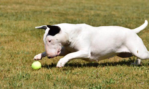 elevage-bull-terrier-ciot-femelle-male-thud-cuddles