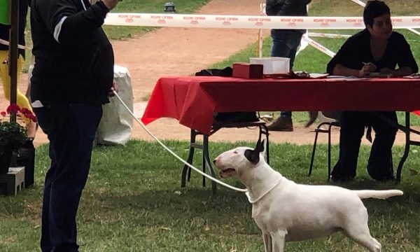 eleveur-bull-terrier-concours-champion-elevage-bull (1)